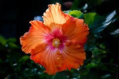 Orange! (obLiterated) Tags: orange flower backlit sunshine winter other runcorn places flowers treesplants brisbane