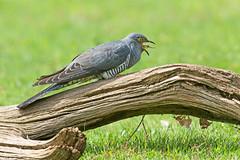 Cuckoo (drbut) Tags: cuckoo cuculuscanorus summermigrant bird birds trees nature wildlife canonef500f4lisusm