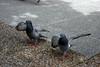Ballet (Jusotil_1943) Tags: 190618 palomas pigeons birds aves