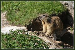 Marmotte 180619-03-P (paul.vetter) Tags: animal rongeur marmotte mammifère sciuridé marmotamarmota groundhog murmeltier marmota