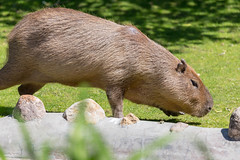 Capybara im Moskauer Zoo (marcoverch) Tags: fusball fusballwm moskau zoo fans animals football russland2018 deutschland wm2018 moskva russland ru mammal säugetier animal tier wildlife tierwelt grass gras fur pelz rodent nagetier little wenig nature natur cute niedlich noperson keineperson wild outdoors drausen funny komisch farm bauernhof young jung portrait porträt pet haustier baby park head child bicycle cielo windows landschaft pose event pool coth5 capybara moskauerzoo