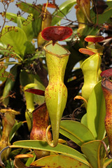 Nepenthes pervillei (Seychelles Pitcher Plant) - Mahe, Seychelles (Nick Dean1) Tags: nepenthespervillei seychellespitcherplant pitcherplant seychelles mahe indianocean