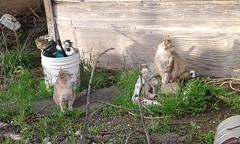 Two Cats (universalcatfanatic) Tags: cats gray grey cat family semiferal semi feral old house country rural wild long short mother daughter son spring green weeds grass colony white bucket branch branches tree trees twig twigs hide hiding tom male female females
