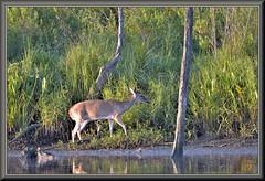 Aware of her surroundings (WanaM3) Tags: wanam3 nikon d7100 nikond7100 texas pasadena clearlakecity armandbayou bayou bayareapark park outdoors nature wildlife canoeing paddling animal deer doe whitetaileddeer