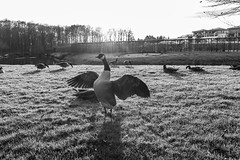 Spread Your Wings and fly away (gambajo) Tags: 1year1town1lens brühl blackandwhite blackwhite black white outdoors public park schlosspark augustusburg sun sunlight birds bird meadow pasture grassland lawn animal grass goose wing wings vogel tier gans rasen wiese x100s fujix100s fujifilmx100s project