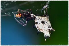 Spined Micrathena (RKop) Tags: ohio californiawoodspark cincinnati raphaelkopanphotography spider nikon nikkor200f4macro zerenestacker flash wildlife