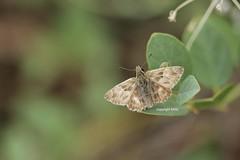 Delphi Hesperiidae (Phil Arachno) Tags: greece griechenland arthropoda delphi insecta lepidoptera hesperiidae