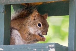 Écureuil roux, Red squirrel, PQ, Canada - 5449