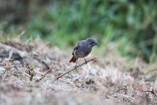 junges Rotschwänzchen / young Black Redstart