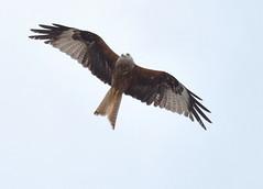 DSC_0540 (PeaTJay) Tags: nikond750 reading lowerearley berkshire outdoors nature birds birdsofprey redkite