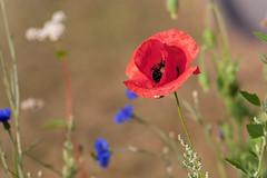 Coquelicot (taleuxeric) Tags: macrophotography macrophoto nature fleurs fleur flowers floral flore coquelicot