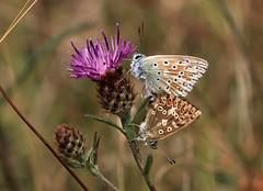CHALKHILL PAIR 170718 (gazza294) Tags: chalkhillblue butterfly butterflies butterflyconservation lepidoptera flicker flickr flckr flkr flickrexplore gazza294 garymargetts