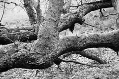 Drenthe (The Netherlands) - Anloo - De Strubben-Kniphorstbosch - 16 (Björn_Roose) Tags: bjornroose björnroose drenthe nederland netherlands niederlände paysbas heath heide tree boom anloo