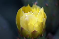Luminous Cactus Flower (Wiley C) Tags: cactus flower luminous glow losalamos california june2018 santabarbaracounty closeup