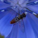 Toxomerus marginatus thumbnail