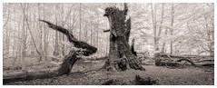 Mythical Creatures (Wayne Interessiert's) Tags: dschungel urwaldsababurg forest forêt bäume trees arbres deadwood wurzel root racime surreal animal landschaft landscape paysage monochrome bw blackwhite noirblancphoto