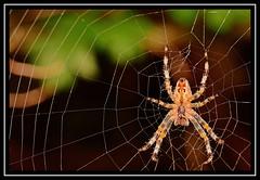 """Spikings..."" (NikonShutterBug1) Tags: nikond7100 tokina100mm entomology nature wildlife bokeh spe smartphotoeditor closeup macro spider insects arachnology araneology web webwednesday"