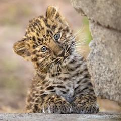 """Did Somebody Say """"Cute""""? (Penny Hyde) Tags: amurleopard bigcat cub leopard leopardcub sandiegozoo"""