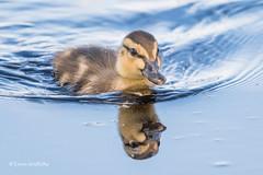 Duckling in a hurry D85_3320.jpg (Mobile Lynn) Tags: duck birds ducks nature anseriformes bird fauna wildlife estuaries freshwater lagoons lakes marshes ponds waterfowl webbedfeet elstead england unitedkingdom gb oth specanimal coth5 ngc npc