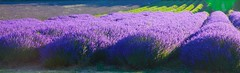 Lavender @ Darent Valley.. (Adam Swaine) Tags: lavenderfields lavender darentvalley kentishlandscapes kent england englishlandscapes english beautiful uk counties countryside britain british canon purplegreen naturelovers nature county shoreham