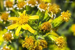 Florece en amarillo / Blooms in yellow (CrisGlezForte) Tags: flores naturaleza verde amarillo flowers nature green yellow florecer bloom