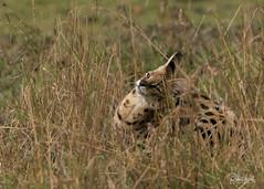 Serval cat! (Jambo53 (busy)) Tags: copyrightrobertkok masaimara kenya eastafrica nikond800