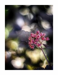 Sympathy for the devil (BeMo52) Tags: blasenspiere bokeh flora fruchtstand garten macro makro natur nature physocarpusopulifoliusdiabolo teufelsstrauch
