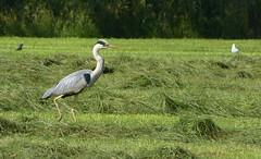 Blue heron on the move (joeke pieters) Tags: 1400484 panasonicdmcfz150 bekenwandeling meddo winterswijk achterhoek gelderland nederland netherlands holland reiger heron vogel bird ngc npc