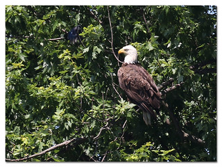 Bald Eagle (adult) pestered by a bluejay.