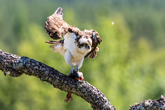 Landing with Style (CJH Natural) Tags: osprey fischadler pandionhaliaetus hawk bokeh fish predator hunter perch nature wild bird feathers expert beauty