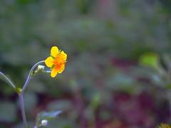 Tiny (OskTani.) Tags: asia japan kongousan flower yellow