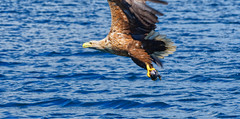 White-tailed sea eagle (Margaret S.S) Tags: inflight white tailed sea eagle isle mull scotland