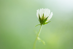 Cosmos Flower (mak_9000) Tags: cosmos