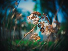 (David Panevin) Tags: fukushima fukushimaku 福島区 大阪 osaka kansai japan olympus omd em1 cctvlens25mmf14 cmount street flower flowers nature plants urbanfragments bokeh bokehlicious davidpanevin