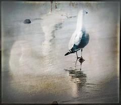 Seagull 2 MHS (Peter & Olga) Tags: kiama winter 2018 beach seagull multipleexposure textures artform nature interpretation fuji olgabaldock