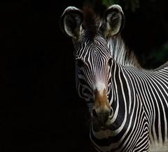 Tg Nbg             Grevy's Zebra            180717 (Eddy L.) Tags: tiergartennürnberg tiergartenfreundenürnbergev nuremberg zebra grevyzebra equusgrevyi grevyszebra portrait blackintheback minoltaafhs28300mmg sonyalpha teamsony sonyphotographing eddyl2018