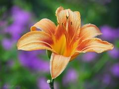Dayllily (NaturewithMar) Tags: daylily flower macro closeup nature wisconsin