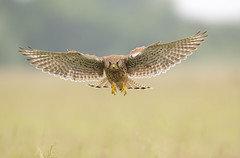 Kestrel (Nigey2) Tags: bird birds raptor kestrel hunting hover