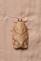 Unidentified Moth (Misenus1) Tags: lancasterma massachusetts animalia arthropoda insecta lepidoptera moths taxonomy:kingdom=animalia taxonomy:phylum=arthropoda taxonomy:class=insecta taxonomy:order=lepidoptera