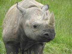 Black Rhino (Simply Sharon !) Tags: blackrhino rhino savetherhino animal yorkshirewildlifepark