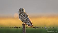 Short-eared Owl (Bob Gunderson) Tags: sierravalley asioflammeus birds california dysonlane northerncalifornia owls plumascounty shortearedowl sierras