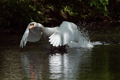 a white Swan running on a lake (Franck Zumella) Tags: white blanc swan cygne bird oiseau lake lac run running courir eau water reflection reflexion droplet goutte fast rapide mouvement movement nature wildelife animal animaux