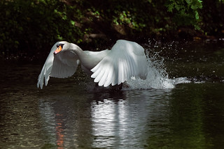 a white Swan running on a lake