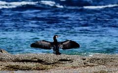 Grand cormoran (jean.collette1) Tags: oiseaux cormoran