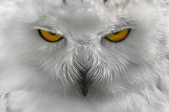 angry bird (Wolf Ademeit) Tags: owl snowowl white eyes yellow color wolfademeit sony sigma