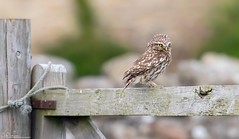 Tales from Northumberland... Little Owl bracing the wind (Steve (Hooky) Waddingham) Tags: bird british barn wild wildlife coast countryside nature northumberland prey photography owl little