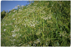 Cow Parsley (JulieK (thanks for 7 million views)) Tags: anthriscussylvestris cowparsley wildflower 100flowers2018 verge green flora umbellifer huw hbw bokeh beautifulnature wexford ireland irish canoneos100d