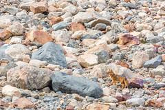 22. Lago de los Tres couleur d'automne, El Chaltén, Patagonie Argentine-2.jpg (gaillard.galopere) Tags: 200mm 2018 300mm 5d 5dmkiii 70300mm apn americadelsur amériquedusud argentina argentine canon elchalten foto gaillardgalopere gaillardgalopère galopere galopère lis lens overland overlander overlanding patagonia patagonie photo southamerica travel animaux automne brillant camera cámara fox gourmand lagodelostres latinamerica longlens mkiii montagne montaña mountain opportuniste outdoor photographie photography recherche reflex relief renard sauvage teleobjectif telezoom téléobjectif télézoom wild wildlife wwwgaloperephotocom zoom