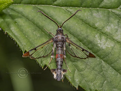 _IMG9203 Red-tipped Clearwing Moth - Synanthedon formicaeformis (Pete.L .Hawkins Photography) Tags: redtipped clearwing synanthedon formicaeformis petehawkins petelhawkinsphotography petelhawkins petehawkinsphotography pentax 100mm macro pentaxpictures pentaxk1 petehawkinsphotographycom fantasticnature fabulousnature incrediblenature naturephoto wildlifephoto wildlifephotographer naturesfinest unusualcreature naturewatcher insect invertebrate bug 6legs compound eyes creepy crawly uglybug bugeyes fly wings eye veins flyingbug flying beetle shell elytra ground