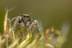 Evarcha falcata (Tom Rop) Tags: evarcha falcata araignée sauteuse jumping spider arachnide araneomorphae araneae arachnida salticidae saltique animal nature portrait macro canon 77d sigma 105mm